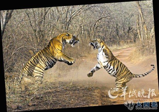 奔跑的老虎大图