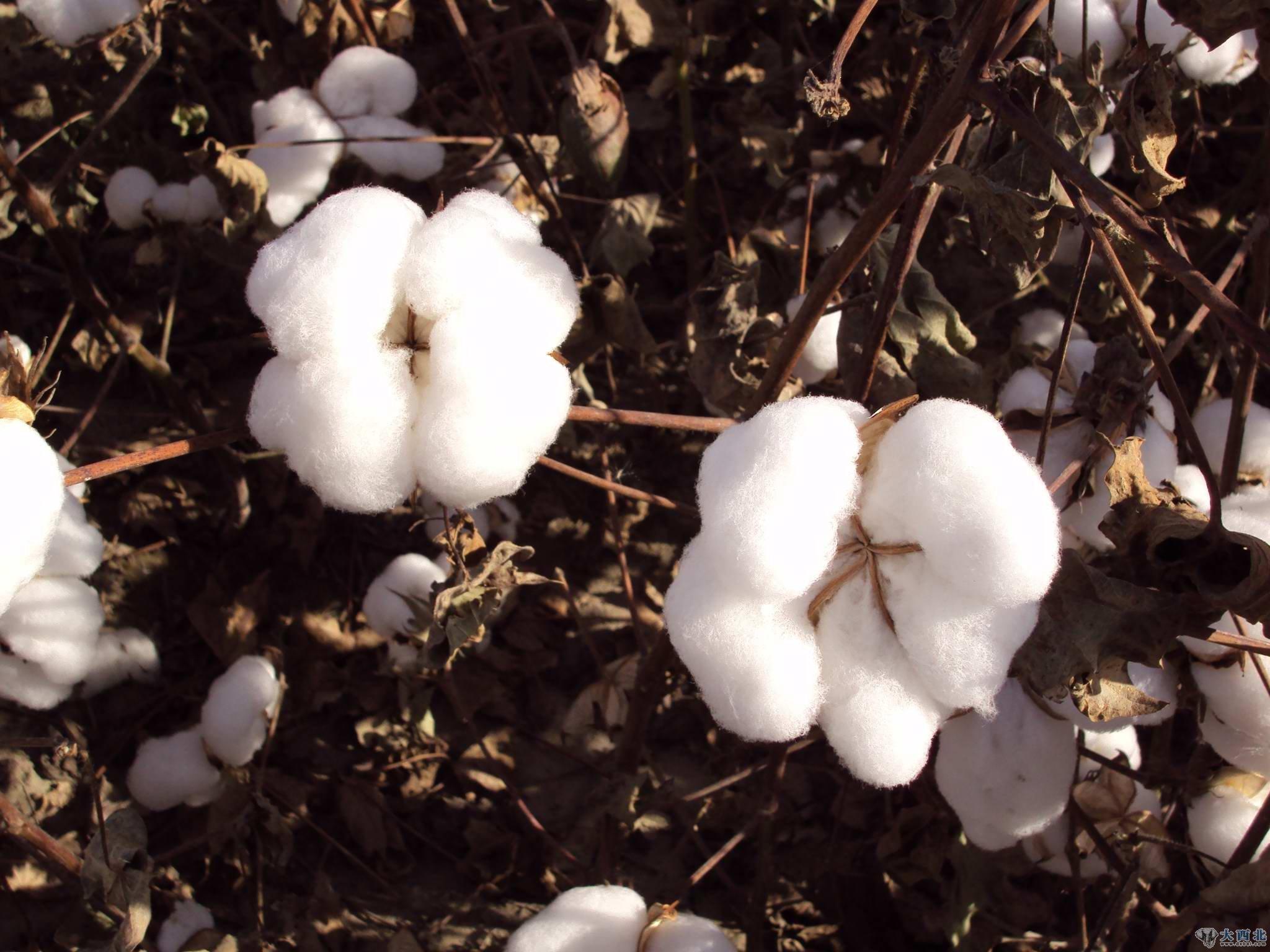 新疆棉花:长在树上的羊毛