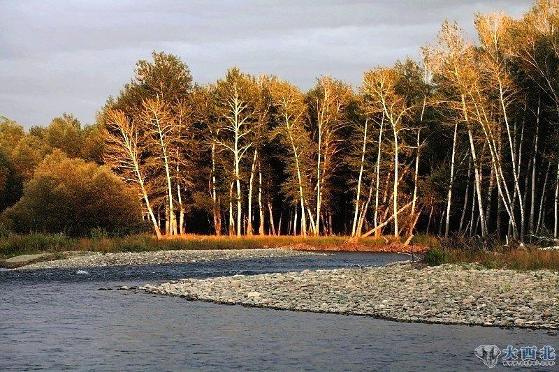 白桦/天空飘下片片雪花,白桦树上几片枯黄的树叶依然坚强的挂在树的...