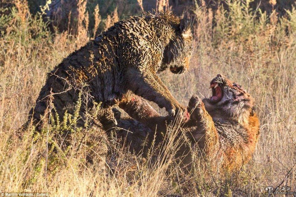 """12月5日讯 英国《每日邮报》3日刊登了一组在南非比勒陀利亚市伦多勒兹野生动物保护区内拍摄的老虎打斗照片。照片中,两只老虎为争抢地盘""""挥爪相向"""",打到血流满面仍不愿撒手。      据悉,这组照片是在伦多勒兹野生动物保护区内著名的""""老虎峡谷""""拍摄的。一只老虎突然挥爪打向另一只老虎的颈部,由此揭开了一场血腥的打斗。      德国摄影师马里恩·沃尔伯恩拍摄下了老虎打斗的场面。他说,在拍摄这组照片的前一天,他们发现两只雄性老虎在各自的领地边缘踱步,"""