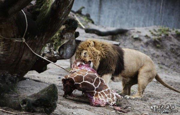 据英国《每日邮报》2月13日报道,继9日丹麦哥本哈根动物园以近亲繁殖