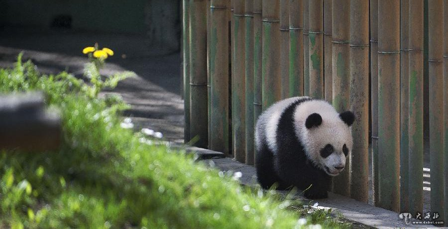 壁纸 大熊猫 动物 900_460