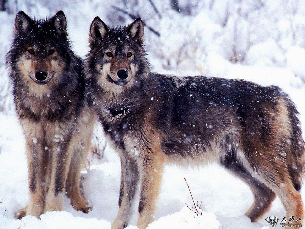 科特迪瓦国家动物园要淘汰一对25岁的老狼,25岁的狼已经非常老了。因为狼是一种非常凶残的动物,所以必须处死。处死老狼也有传统的规定:把老狼引进铁笼,享受5天美餐,犹如死刑犯临刑前最后的晚餐。第六天,铁门吊起一半,待狼头伸出铁门,500多公斤重的铁门如铁锤一样,突然重重砸下,狼头当即粉碎。 墨西哥一家有线电视台获知信息后,马上派人和动物园联系,签订了一份合同。原来这家电视台正要拍摄一部名叫《狼的故事》的专题片,结尾需要一只苍老的狼王垂死的镜头,这两条老狼正好派上用场。 饲养员把这对老狼转移到一个可以移动的