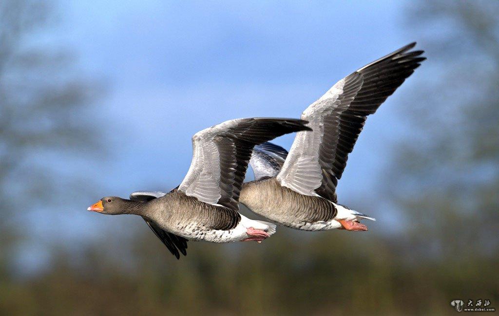 """""""人为财死,鸟为食亡。""""这句流传千百年的老话,至今仍然有生命力。凡是今天还活着的老话,都是人类智慧的结晶,是某种规律的总结。有多少人已经逃出了""""人为财死""""的规律,这个不好证明。但是,在""""跟着大雁去迁徙""""的路上,我听到、看到大量""""鸟为食亡""""的最新例证。觅食既是所有野生动物生存的需要,也是种族延续的需要。一旦无食可觅,不仅仅是个体的死亡,而且是某个物种的灭绝。搞转基因杀虫的人,绝对不会想过这个简单而又严肃的生物多"""