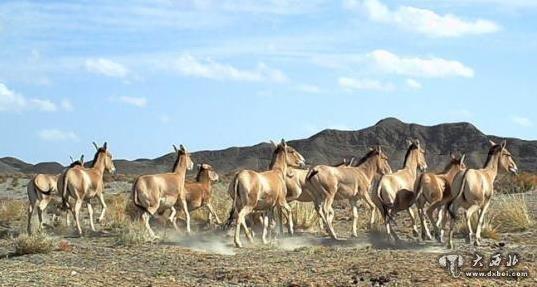 蒙古野驴等大量珍稀野生动物频繁亮相甘肃河西