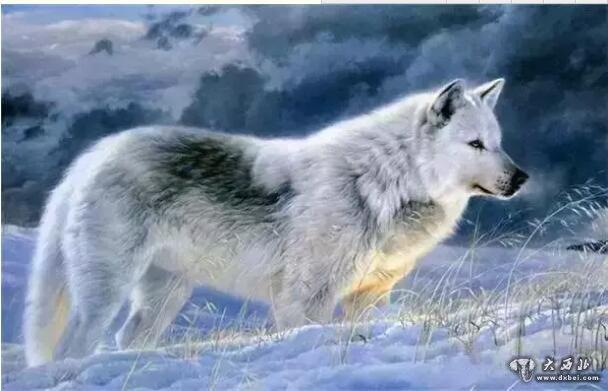 微信动物头像狼