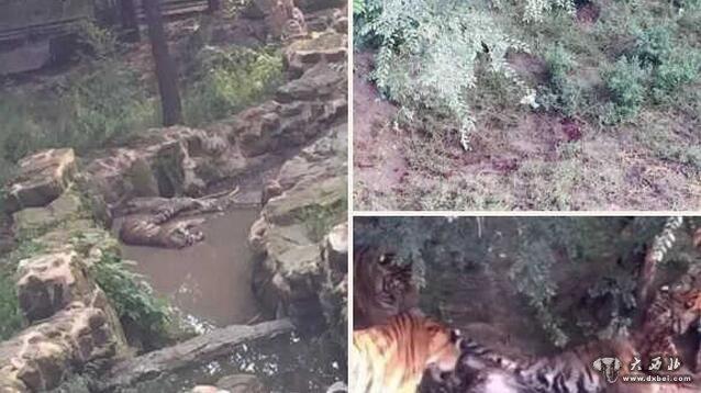 长春动物园1只老虎被8只老虎围攻咬死