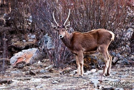 男子枪杀国家一级保护动物白唇鹿被拘 砍鹿头取角